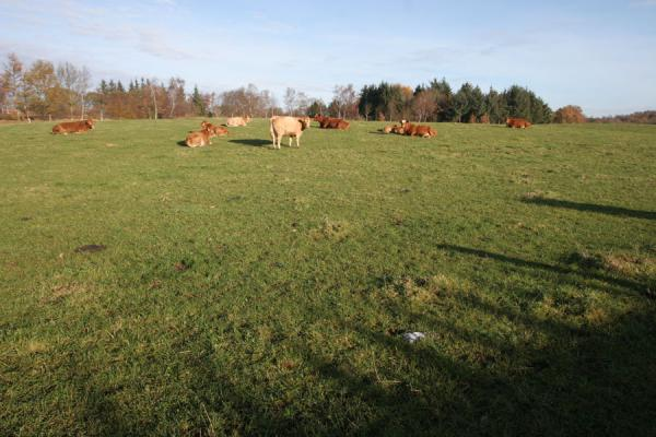Photo de Cows in East Jutland landscapeVejle - le Danemark