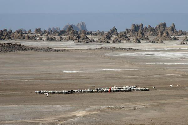 Shepherd moving across the plain of Lac Abbé | Lac Abbé | Djibouti