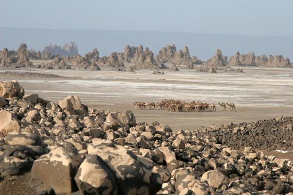 Picture of A herd of camels traversing the plains at Lac AbbéLac Abbé - Djibouti
