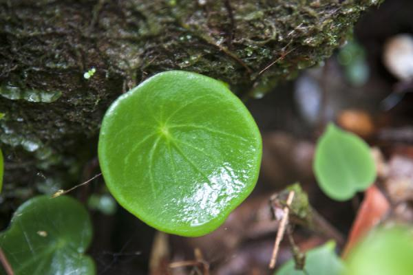 Foto de Cute leaf on a tree in the forest on the way to the Valley of DesolationBoiling Lake - Dominica