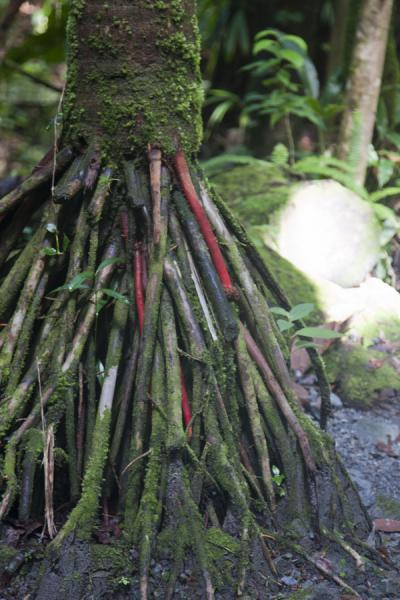 Foto de Red and green roots of tree in the forest surrounding Emerald PoolEmerald Pool - Dominica