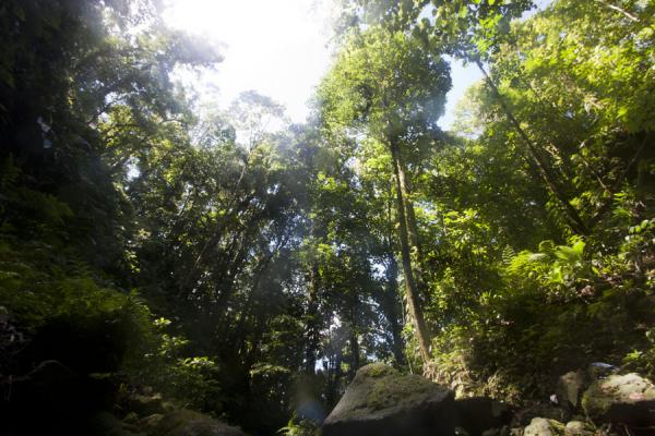 Foto de Looking up at the forest surrounding Emerald PoolEmerald Pool - Dominica