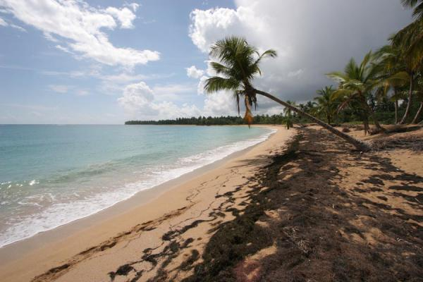 Palmtree hanging over the beach of Las Terrenas - 多明尼加共和国