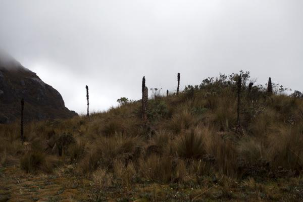 Photo de Puya bromeliads pointing to the sky on a hill covered in straw grassParc National El Cajas - l'Equateur