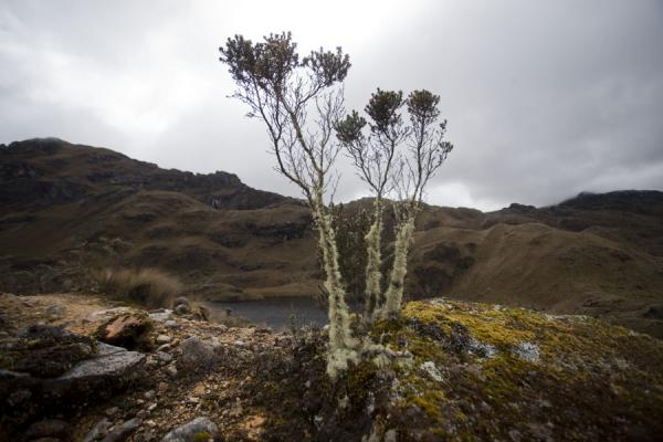 Plant on a rock with lake in the background: typical landscape of El Cajas | Parco Nacional El Cajas | Ecuador