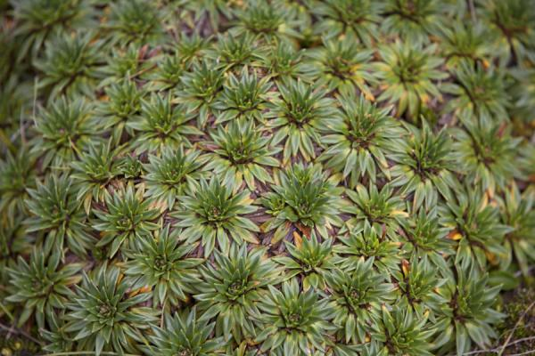 Close-up of typical green vegetation found in El Cajas |  | 厄瓜多尔