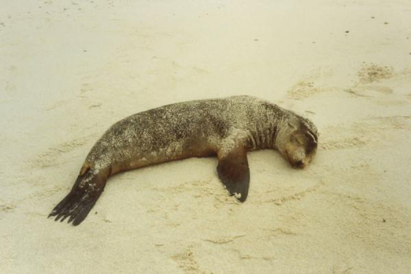 Picture of Galápagos Islands (Ecuador): Sleeping sea lion on a beach