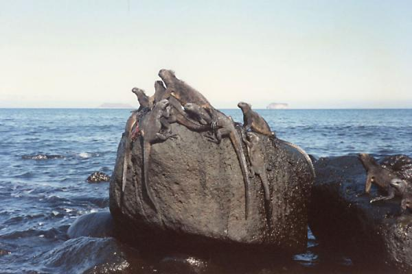 Iguanas on a rock | Galápagos Islands | Ecuador