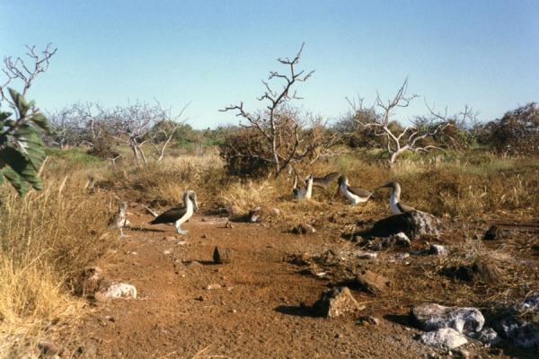 Picture of Galápagos Islands (Ecuador): Group of blue-footed boobies