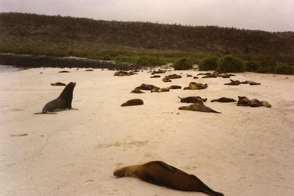 Picture of Galápagos Islands (Ecuador): Beach with sea lions on a Galápagos island