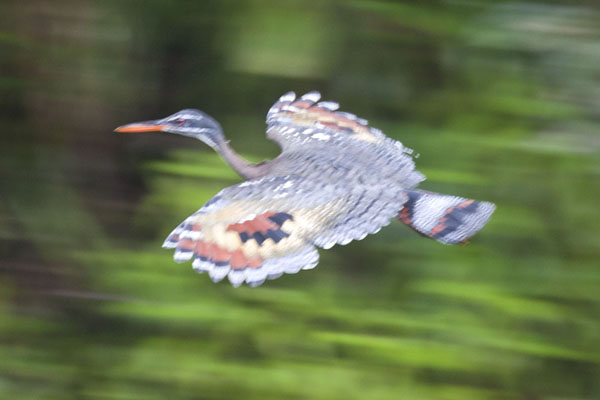 Foto van Colourful bird flying over the river near MindoMindo - Ecuador