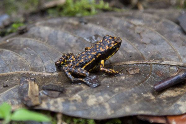 Tiny poisonous and endemic frog on a leaf in the cloudforest of Mindo | Mindo Cloudforest | Ecuador