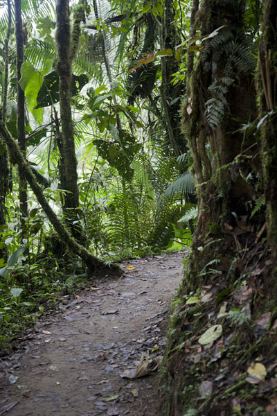 Foto di Trail through the cloudforest of MindoMindo - Ecuador
