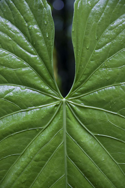 Foto de Curiously shaped big leaf in the cloud forest of MindoMindo - Ecuador