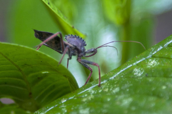 Foto di Insect on leaves in the cloud forestMindo - Ecuador