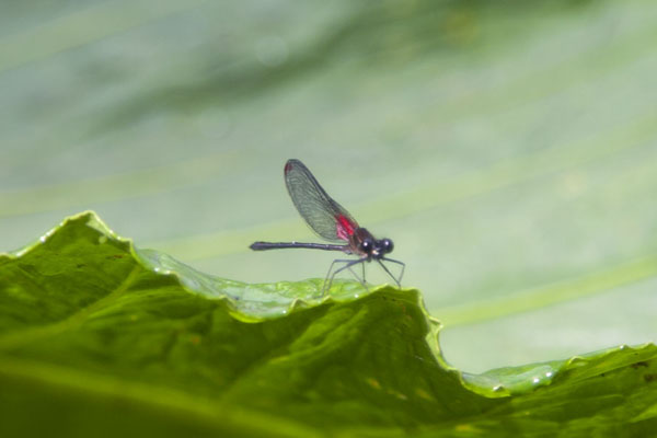 Foto di A cute, tiny dragonfly on a big leafMindo - Ecuador