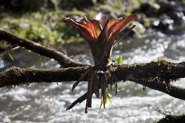 Foto di A bromeliad growing on a branch across the riverMindo - Ecuador