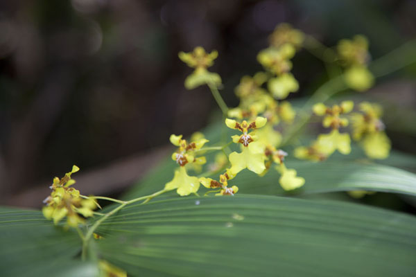 Photo de Yellow orchids showing off their beautyMindo - l'Equateur