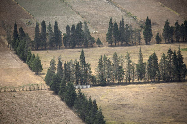 Close-up of rows of poplars in Pululahua caldera - 厄瓜多尔