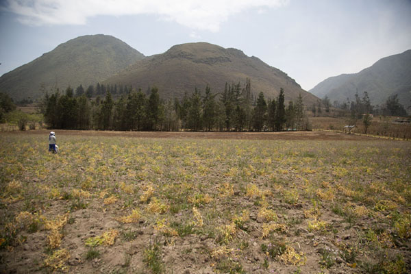 Foto van Field with flowers with Cerro Pondoño in the backgroundPululahua - Ecuador