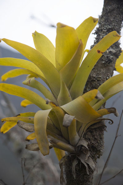 Foto van Bromeliad growing on one of the treesPululahua - Ecuador