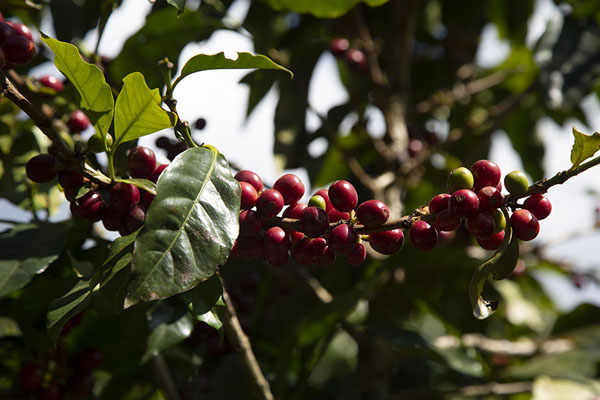 Picture of Close-up of coffee plantApaneca - El Salvador