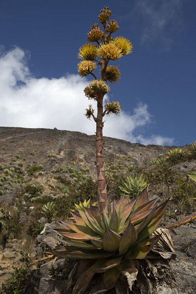 Foto di Agave plants growing at higher altitude on the slopes of Santa Ana volcanoVulcano Santa Ana - El Salvador