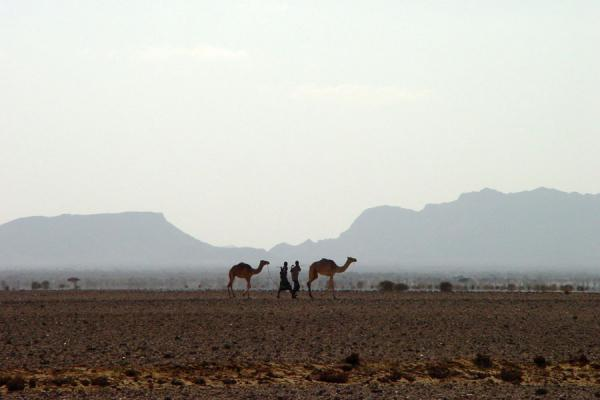 Men and dromedaries in the Dankalia region: a common sight | Dankalia | Eritrea