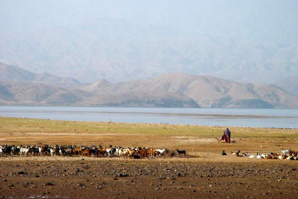 Picture of Herding goats on the Buri PeninsulaDankalia - Eritrea