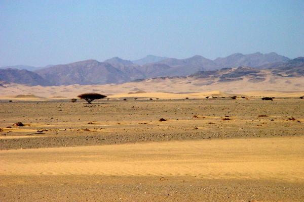 A lonely tree in the Dankalia desert | Dankalia | Eritrea