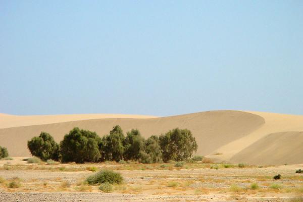 Trees being protected from the winds by sanddune | Dankalia | Eritrea