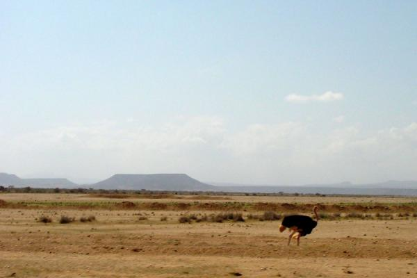 Foto di Ostrich in the flat landscape with flat mountain in the Dankalia regionDankalia - Eritrea