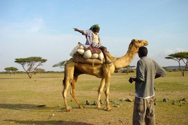 Picture of Camel driver on dromedary, Buri Peninsula