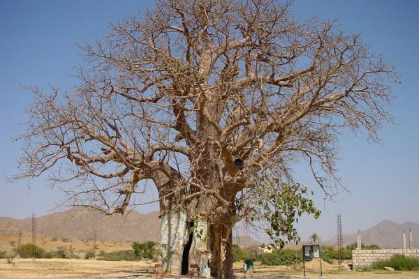 Picture of The baobab tree near KerenKeren - Eritrea