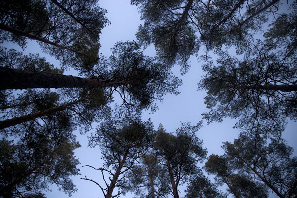 Looking up the forest of the forest of Lahemaa National Park | Lahemaa Nationaal Park | Estland