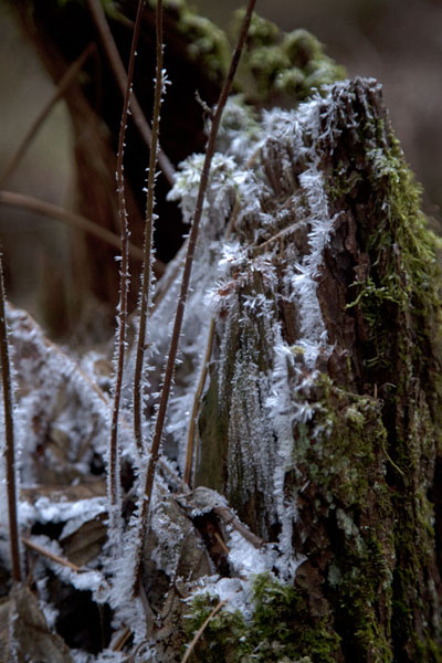Frost on a moss-covered tree trunk | Lahemaa National Park | 爱沙尼亚