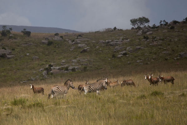 Zebras and blesbok grazing in Malolotja National Park | Malolotja National Park | Eswatini