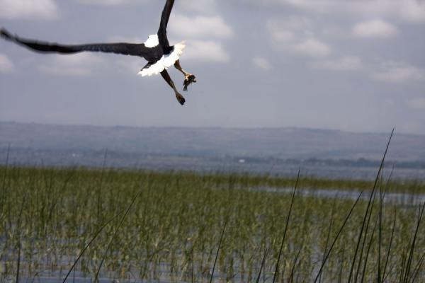 益索比亚 (Just after the catch: African fish eagle taking off Lake Awassa)