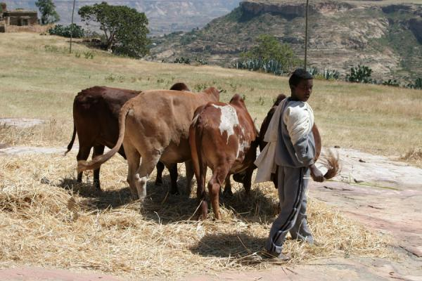 Foto van Guiding the cows on the plateau of Debre Damo monasteryEthiopische kinderen - Ethiopië