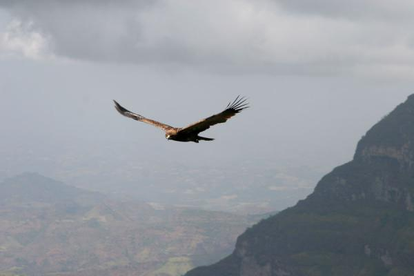 Eagle flying over the valley near Jinbar waterfall | Simien Mountains | Ethiopia