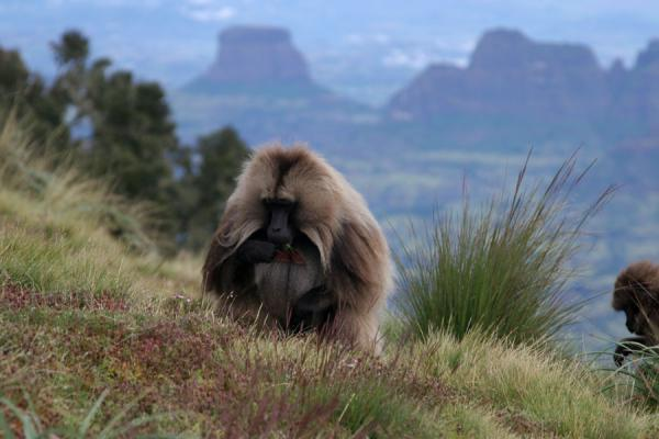 Gelada baboons eating grass on the edge of the escarpment near Chennek Camp | Simien Mountains | Ethiopia