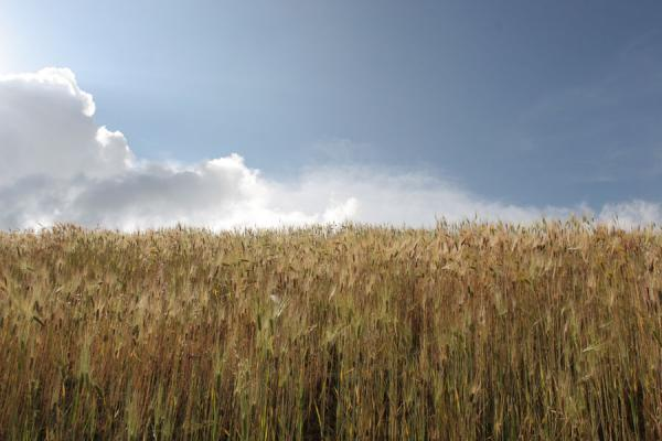 Field of barley with clouds near Geech camp | Simien Mountains | Ethiopia