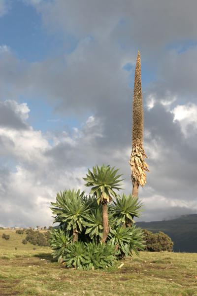 Giant lobelia plants are a common sights in the Simien Mountains | Simien Mountains | Ethiopia