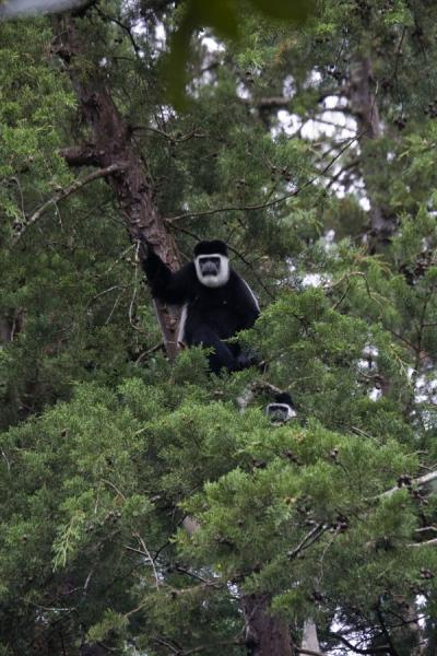 Abyssinian black-and-white colobus monkey in a tree - 益索比亚