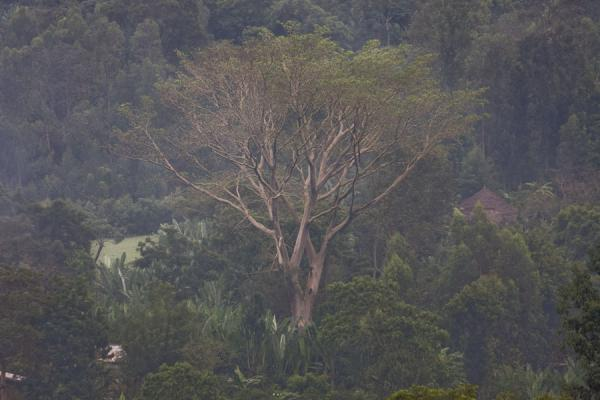 Remarkable tree in the landscape around Yirgalem | Yirgalem | Etiopia