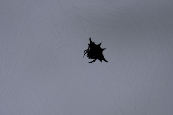 Spider looking like a bat in a web - 益索比亚 - 非洲