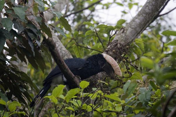 Picture of Remarkable silvery-cheeked hornbill in a tree