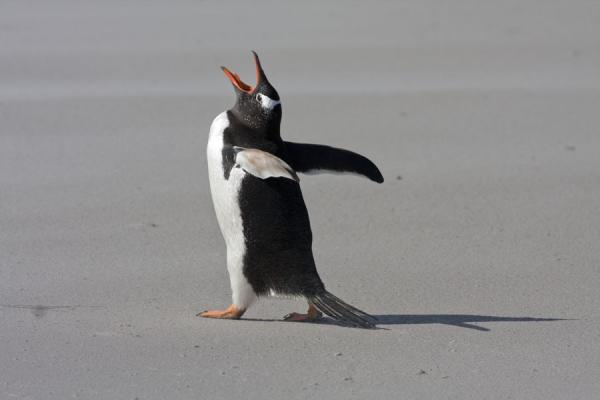 Picture of Gentoo penguin with its head into the air, walking on the beach at Carcass Island