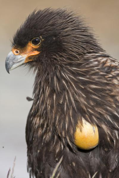 Picture of Carcass Island (Falkland Islands (Malvinas)): Close-up of Johnny Rook or striated caracara