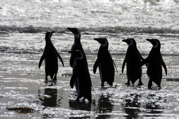 Group of Magellanic penguins at the surf of a beach on Carcass Island | Carcass Island | Isole Falkland